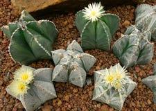 仙人掌, Astrophytum asterias 库存照片