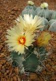 仙人掌, Astrophytum capricorne 免版税图库摄影