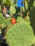 仙人掌仙人掌植物绿色叶子用它的果子多刺的豌豆 库存照片