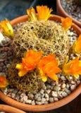 仙人掌-黄色花 库存照片