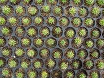 仙人掌(Echinocactus) 库存照片