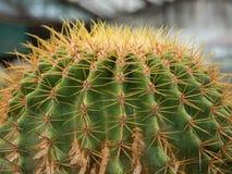 仙人掌(Echinocactus) 免版税库存照片