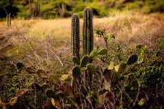 仙人掌Arikok国民公园阿鲁巴 库存图片