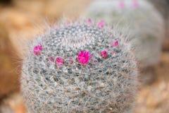 仙人掌clumy开花的花增长喜欢新的端小 免版税库存照片