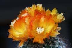 仙人掌clumy开花的花增长喜欢新的端小 库存照片