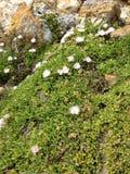 仙人掌clumy开花的花增长喜欢新的端小 库存图片