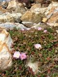仙人掌clumy开花的花增长喜欢新的端小 免版税库存图片