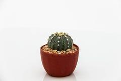 仙人掌Echinocactus 免版税库存照片
