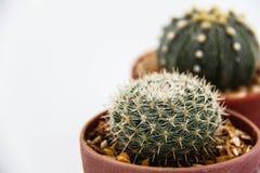 仙人掌Echinocactus 免版税图库摄影