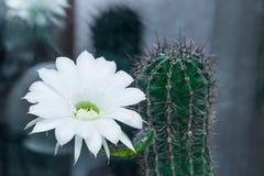 仙人掌echinopsis绽放 库存照片