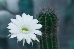 仙人掌echinopsis绽放 免版税库存图片