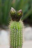 仙人掌Mammillaria 库存图片