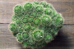 仙人掌Mammillaria 库存照片