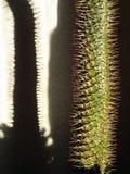 仙人掌Pachupodium 库存图片