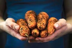 人握有嫩卷心菜被收获的庄稼的手 库存照片