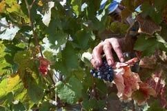 人收获葡萄在葡萄园里 库存图片