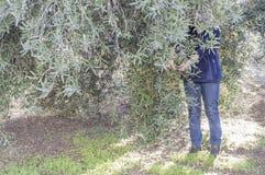 人收集橄榄 免版税库存照片