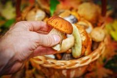 人收集蘑菇对在秋天森林特写镜头的篮子 蘑菇秋天收获  免版税图库摄影