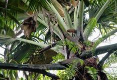 令人敬畏的椰树de梅尔(Lodoicea maldivica)是植物世界的巨人 免版税库存照片