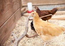 年轻人浅黄色的Orpington小母鸡 库存图片