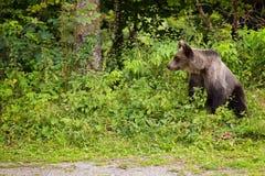 年轻人熊从森林出来 免版税库存照片
