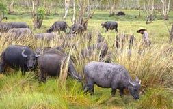 人环绕在稻的水牛牧群 库存照片
