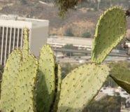 仙人球Cactus& x28; Opun Tia Englemann& x29; 库存图片
