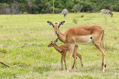 人生的林羚-非洲羚羊类angasii 免版税库存照片