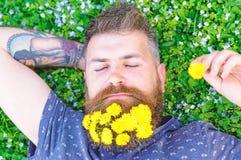 人用在放松的胡子,顶视图的蒲公英 有蒲公英花的有胡子的人在胡子在草甸,草放置 免版税库存图片
