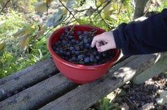 人用本地出产的康科德紫葡萄 免版税库存照片