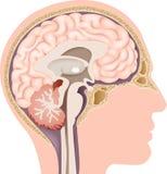 人的内部脑子解剖学的动画片例证 库存照片