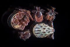 人的寄生生物壁虱、小蜘蛛、蜱scapularis或者鹿壁虱或者blacklegged壁虱、Dermacentor reticulatus或者华丽母牛壁虱 TBE 库存照片