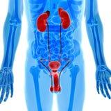 人的尿殖器官解剖学在X-射线视图的 免版税库存图片