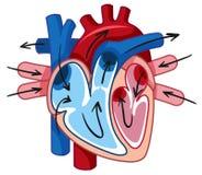 人的心脏和血管 向量例证