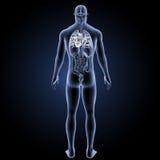 人的心脏有器官后部视图 皇族释放例证