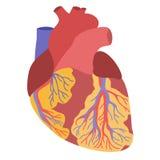 人的心脏解剖学例证 免版税库存照片