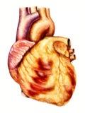 人的心脏解剖学例证 免版税库存图片