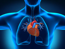 人的心脏解剖学 库存图片