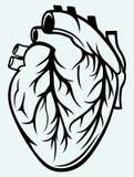 人的心脏 库存图片
