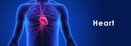 人的心脏 向量例证
