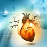 人的心脏 库存照片