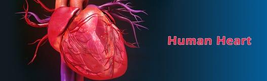 人的心脏 库存例证