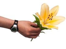 人的手举行黄色百合,被隔绝 库存图片
