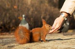 从人的手喂养的灰鼠 水平 库存照片