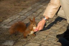 从人的手喂养的灰鼠 水平 免版税图库摄影