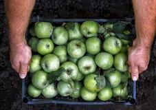 人的手拿着一个箱子用绿色simirenka苹果 采撷和采撷苹果 概念,秋天收获苹果 库存图片