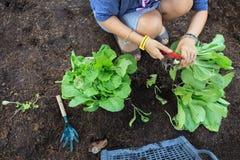 人的手收获在家庭菜园fo的干净的有机菜 免版税库存图片