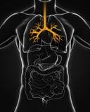 人的支气管解剖学 库存图片