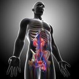 人的泌尿系统侧视图在灰色X-射线的 库存照片