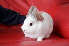 人的爱抚一只白色兔子坐一个红色长沙发 免版税库存图片